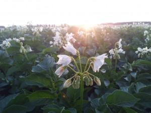 SchoonWater aardappel bloem
