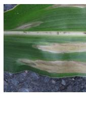 SchoonWater bladvekkenziekte maïs