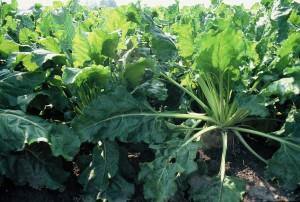 CLMAkkerbouw-vvg-30-Suikerbieten-planten