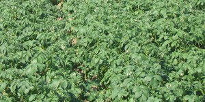 CLMAkkerbouw-54-Aardappelakker