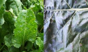 Stemphylium en Cercospora