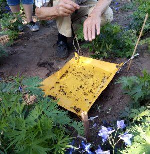 Inventariseren van insecten in de insectenval