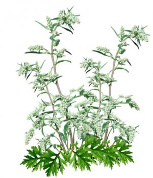 Artemisia is zeer geliefd door de Artemisia-luis