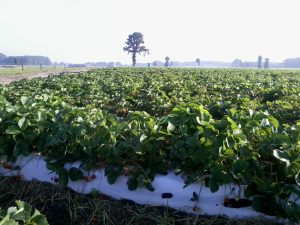 Aardbeienveld
