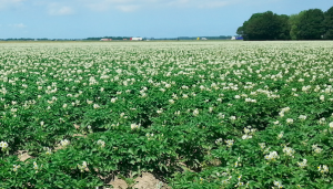 Aardappelen in bloei