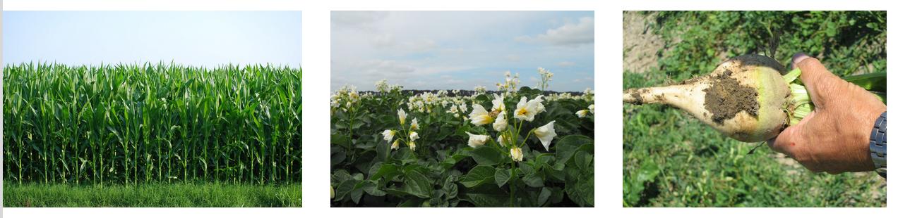 Minder milieubelastende onkruidbestrijding in maïs, suikerbiet en aardappelteelt