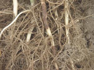Bruine vlekken op de stengel van aardappel